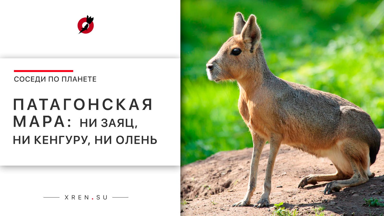 Патагонская мара: ни заяц, ни кенгуру, ни олень.