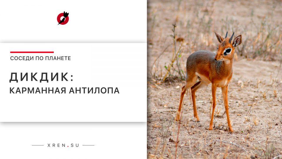 Дикдик: карманная антилопа