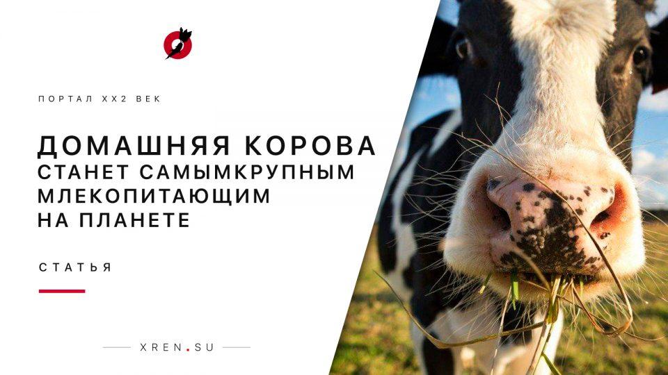 Домашняя корова станет самым крупным млекопитающим на планете