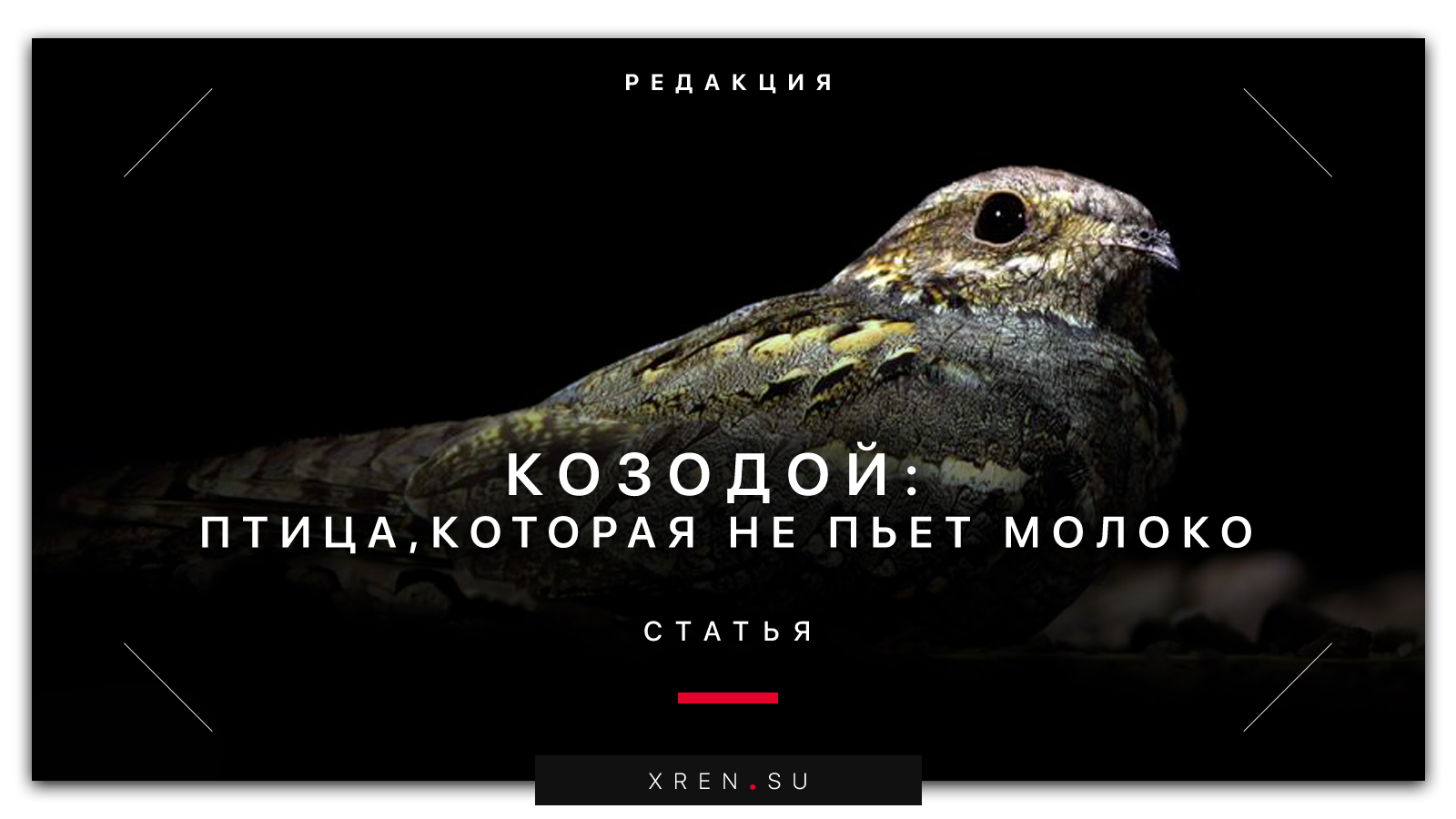 Козодой: птица, которая не пьет молоко