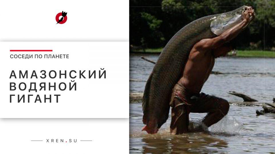 Амазонский водяной гигант — арапайма