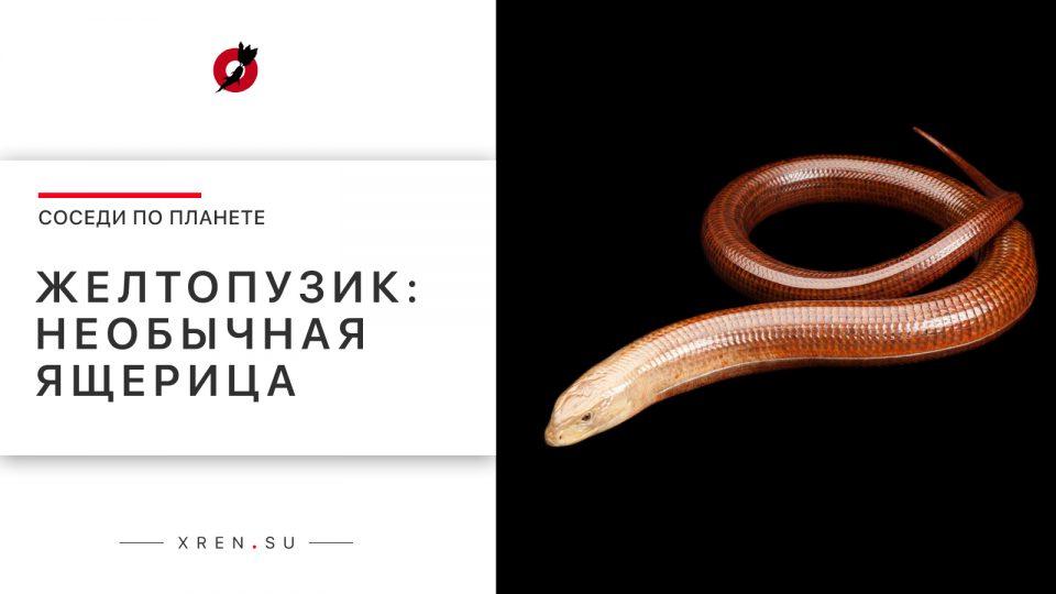 Желтопузик: необычная ящерица